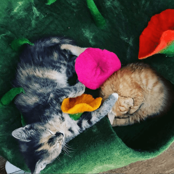 Stormy and Sunny, Anna Skaya's new kittens, relaxing at home. Skaya founded a cat DNA testing kit company. (Credit: Anna Skaya)